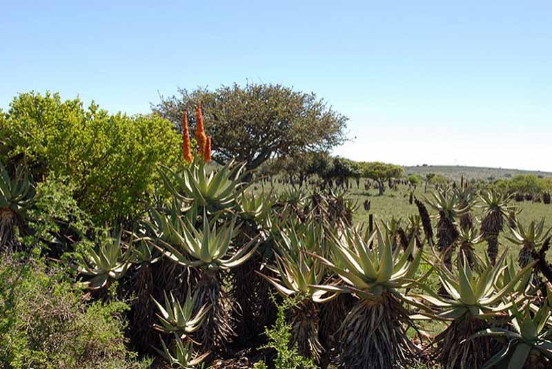 Aloe Ferox per dimagrire